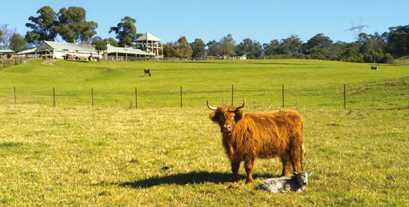 Photograph of a cow in a paddock in Calmsley Hill.